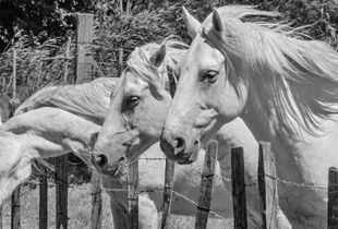 Camargues's horses