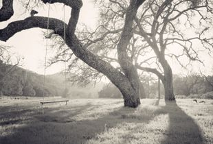 Oak Tree Swing - Santa Ynez, California USA © Perry Manuk