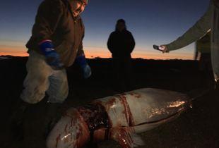 Beluga Harvest