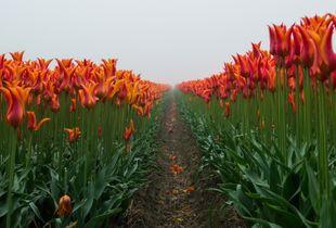 Netherlands, tulip field
