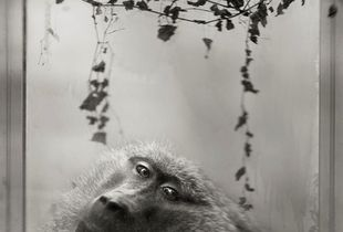 3rd Prize: Baboon in Window © Anne Berry
