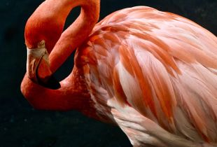 Mexican flamingo