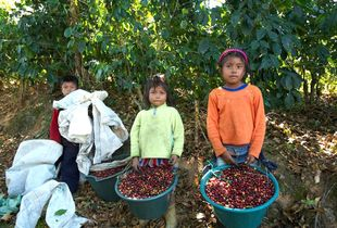 Family in the coffee fields
