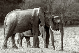 elephant family. Kafue National Park Zambia.