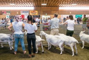 Rump & Teats: Goat Fanciers of Peninsular Saanich 3