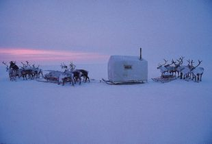 "Dolgan people moving in the Siberian tundra with their "" balok "", a wooden house pulled by reindeers."