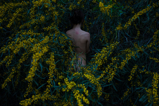 Golden Wreath Wattle
