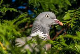 Pigeon at the garden