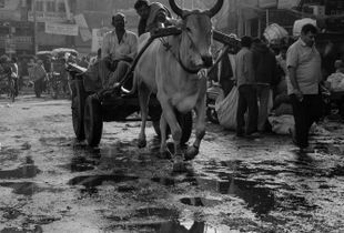Ox cart in Chandni Chowk