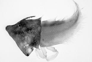 Aluterus Harpax Cynoglossus