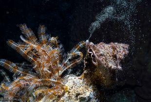 Sea Snail Spawning