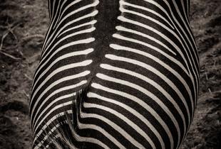 Zebra spine