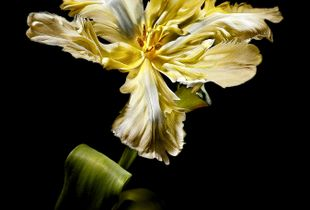Liber Parrot Tulip
