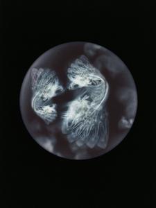 Ophelia Medustica. Specimen collected from Glouthaune shoreline, Cove of Cork, Ireland (Pram wheel)