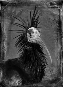 © Dianne Yudelson Wallrapp Ibis