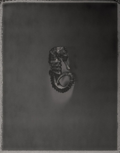 West African Seahorse, Hippocampus algiricus