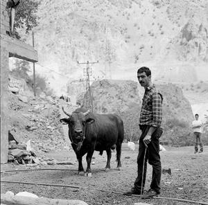A Bull © Gigi Roccati