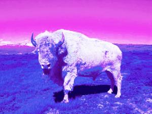 Tatanka (Buffalo) © Dana Claxton
