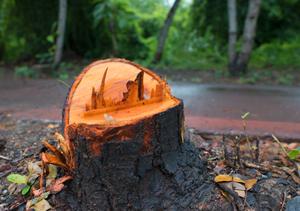 Tree trunk after thunderstorm. Playa Linda. Ixtapa.