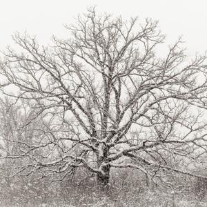 Blizzard Oak