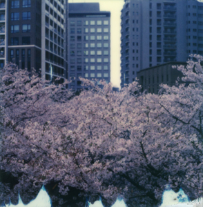 Tokyo Cherry Blossoms 1
