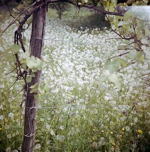Vineyard (Unoka, Romania, 2006)  © Tamas Paczai