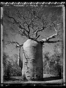 Baobab 21 Madagascar 2010 © Elaine Ling