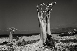 Desert Rose Erher Beach