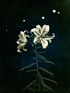 """Radioactive Lilies, Iitate Village, Fukushima. From the series """"Here and There: Tomorrows' Islands,"""" July 25, 2011"""
