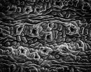 Gingko Stomata Detail