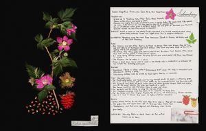 Family: Rosaceae. (Rubus spectabilis) Salmonberry