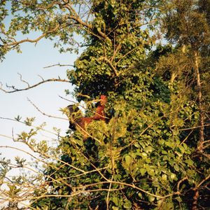 Chicken up in a tree