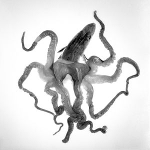 Octopodidae Bipunctatus