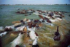 Mopti, Mali: The cattle crossing the river Niger– one of the most spectacular festivals in Western Africa, an important cultural and social event for the Fula people. © Matjaz Krivic