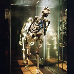 Replica of the Lucy fossil - the alleged missing link between hominids and their monkey ancestors.