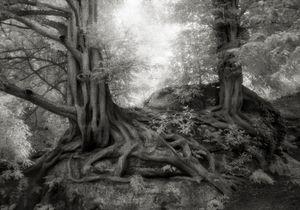 Wakehurst Yews