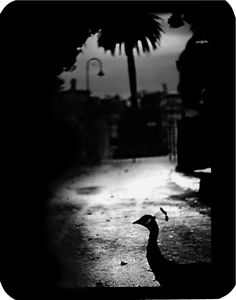 """Untitled"" (Peacock Rome), 2005 © Giacomo Brunelli"