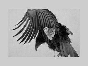 Janice Tieken - CONDOR DOLLY | LensCulture