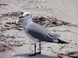 Seagull on Sanibel Island 2