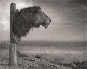 Lion Head Trophy © Nick Brandt. Courtesy of Edwynn Houk Gallery, New York