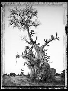 Baobab 06 Mali 2008 © Elaine Ling