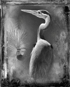© Dianne Yudelson Great B;ue Heron