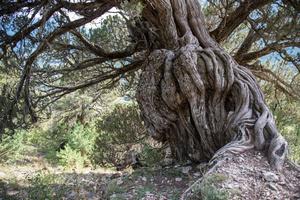 Juniperus Thurifera. about 1000 yrs.