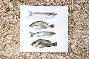 Stage: Liguria. Typical fishes of the Ligurian coast, muggini and ombrine.