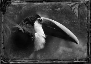 © Dianne Yudelson Black Mandibled Toucan