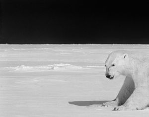 Polar bear on the ice near Baffin Island. © Ragnar Axelsson