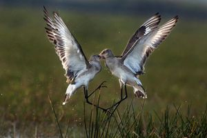 ENCOUNTER OF GODWIT1
