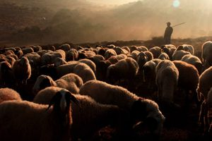 A Palestinian sheered walk with his sheep during the Olive harvest season, in the West Bank village of Salem, 2014.