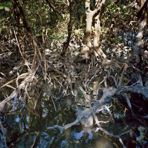 Stilt Roots, Goodland, Florida 2014