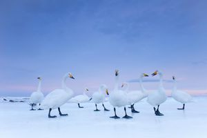 2nd Prize Nature Stories © Stefano Unterthiner, Italy, for National Geographic magazine.  Whooper Swans at dawn, Hokkaido, Japan, January